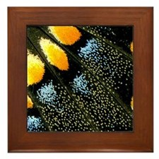 Papilio Polyxenes Butterfly Framed Tile
