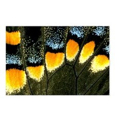 Papilio Polyxenes Butterfly Postcards (Package of