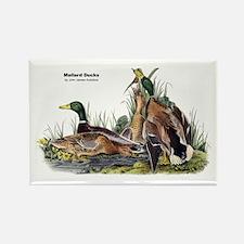 Audubon Mallard Ducks Rectangle Magnet