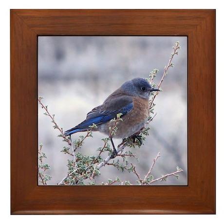 bluebird on a branch Framed Tile
