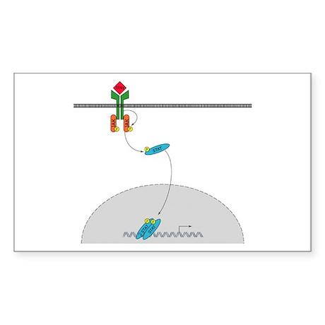 Jak-Stat signaling pathway Rectangle Sticker