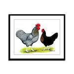 Black Sex-linked Chickens Framed Panel Print