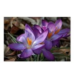 Purple Crocus Postcards (Package of 8)