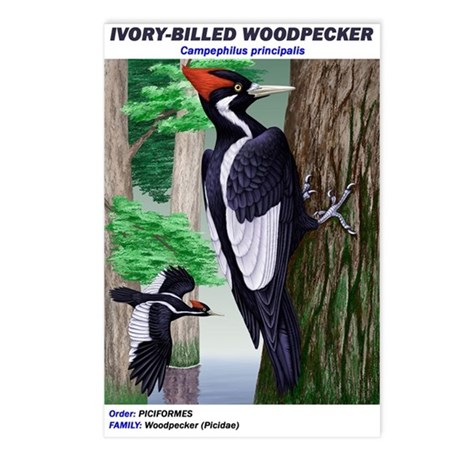 Postcards (8) Ivory-billed Woodpecker