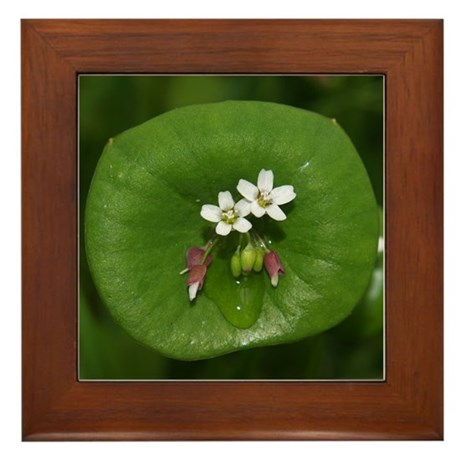 Miner's Lettuce Flowers Framed Tile