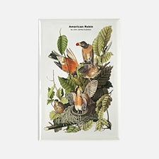 Audubon American Robin Birds Rectangle Magnet
