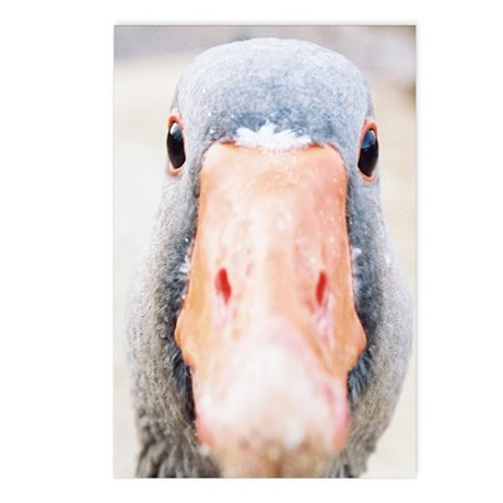 Duck Stare Postcards (Package of 8)