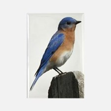 Eastern Bluebird Rectangle Magnet (10 pack)