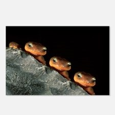 Rough-Skinned Newt Trio, 8 Postcards