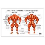 MUSCLEHEDZ Anatomy Chart - Large Poster