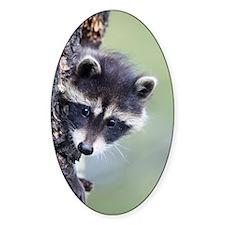 Raccoon Oval Decal