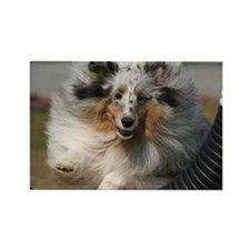 Sheltie Agility Rectangle Magnet