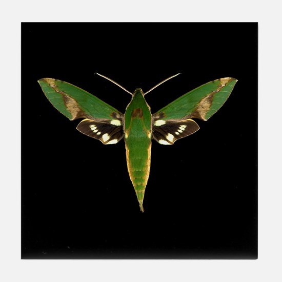 Chiron Sphinx Moth Tile Coaster