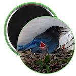 Baby Steller's Jays Magnet
