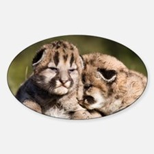 Cougar Kitten Oval Decal