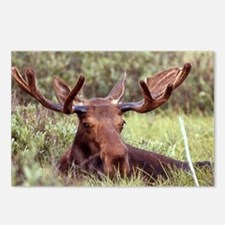 Moose Photo Postcards (Package of 8)