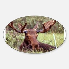 Moose Photo Oval Decal