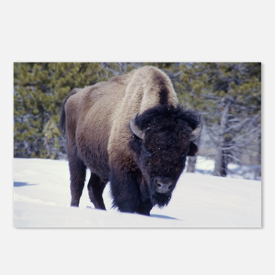 Bison Photo Postcards (Package of 8)