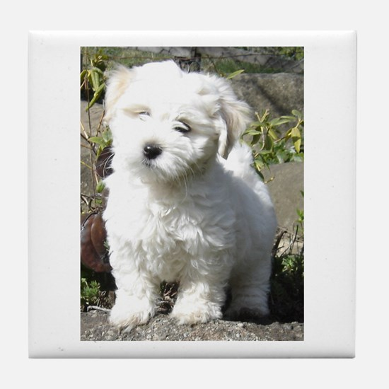 Cute Havanese dogs Tile Coaster