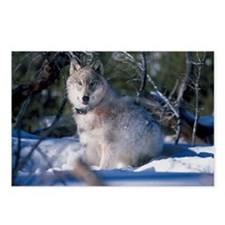 Gray Wolf Postcards (Package of 8)