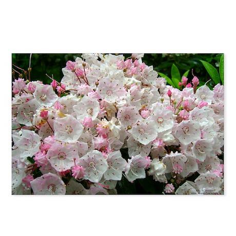 Mountain Laurel Full Bloom Postcards (Package of 8