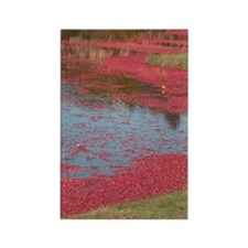 Cranberry Harvesting Rectangle Magnet