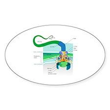 Morphology Oval Decal
