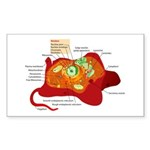 Animal Cell Rectangle Sticker