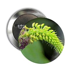 sarcoglottis orchid Button