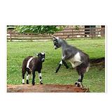 Pygmy goat Postcards