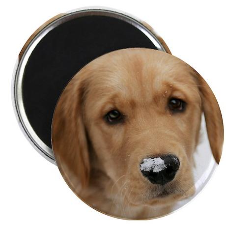 Snowy Nose Golden Magnet