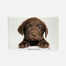 Chocolate Labrador Retriever puppy 9Y270D-050 Rect