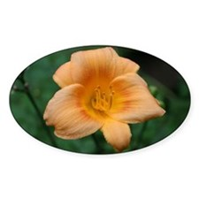 Pach Daylily Oval Decal