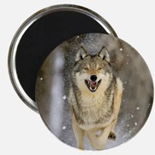 Unique Timber wolf Magnet
