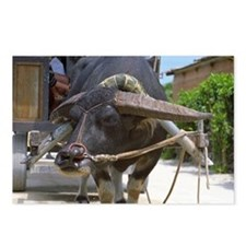 Water Buffalo Postcards (Package of 8)