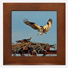 Osprey Bringing Fish Framed Tile