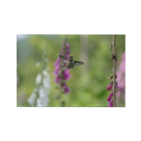 Rufous Hummingbird Rectangle Magnet (100 pack)