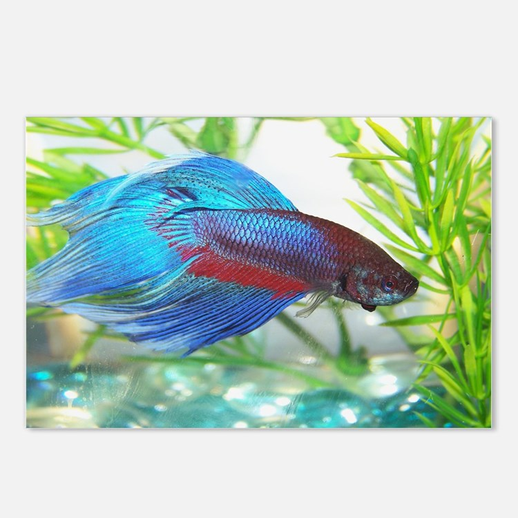 Cute Betta Postcards (Package of 8)