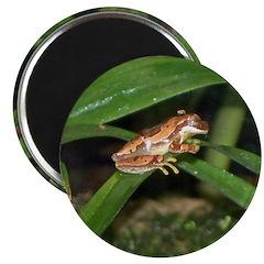 hourglass treefrog 2.25