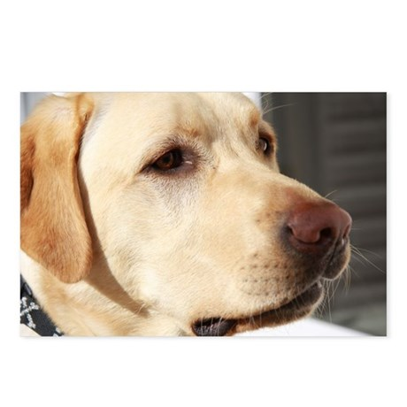 Yellow Lab (photo) Postcards (Package of 8)