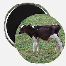 holstein calf Magnet