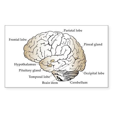 Brain Section Rectangle Sticker
