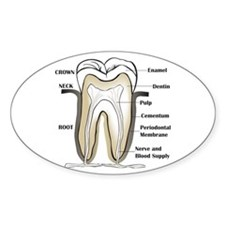 Tooth Section Oval Decal