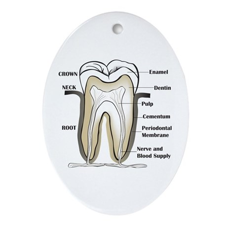 Tooth Section Oval Ornament