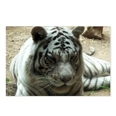 white tiger 7 Postcards (Package of 8)