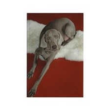 Beautiful AKC Champion Weimaraner photo Rectangle