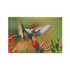 Hummingbird Sip Rectangle Magnet