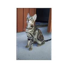 Sokoke Kitten Rectangle Magnet (10 pack)