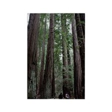 Muir Woods, California Rectangle Magnet