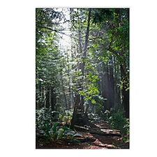 Sunlight through the Redwoods Postcards